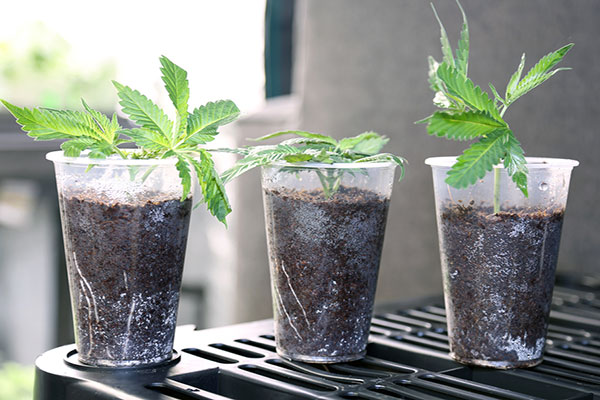 cloning marijuana plants