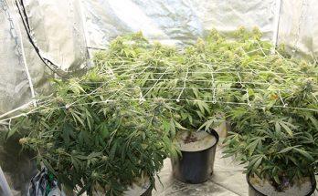 stealth marijuana growing