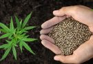 fast growing marijuana seeds