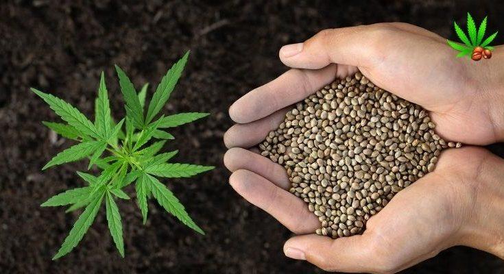fast growing marijuana seeds