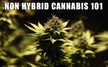 non-hybrid-cannabis-seeds