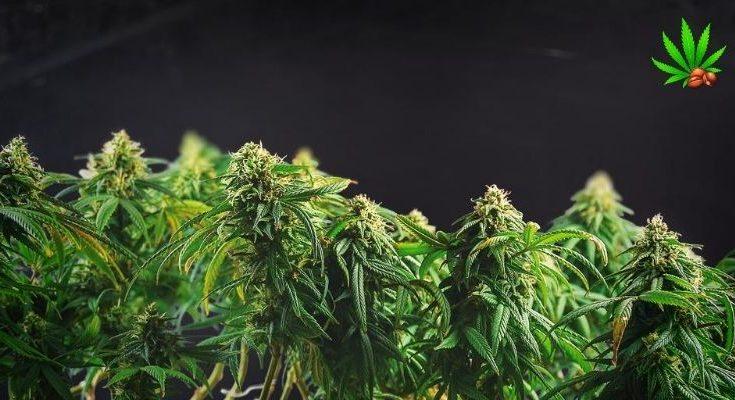flushing cannabis